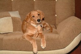Kal as an adolescent dog, posing nicely on the dogs couch.