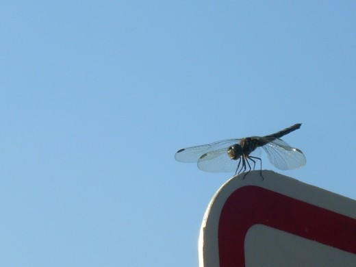 dragonfly perched on a sign bearing a vine of morning glories wrapped around it