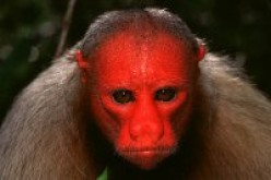 The White Uakari has a strikingly human-like face, which has brought it much attention; both good and bad.