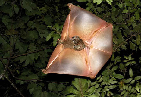 Colugo have a thin flap of skin that helps them to glide through the tree tops like a bird.