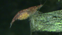 Female Red Cherry Shrimp with eggs