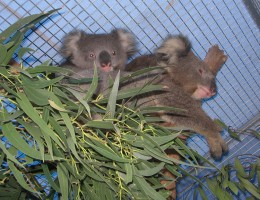 Koala mum and Joey recuperating at an animal refuse before being release back to the wild. Photo by Agvulpes at Sleepy Hollow Sanctuary