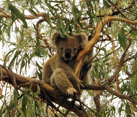 "This Koala seems to be saying ""G'day mate"" Photo by Agvulpes"