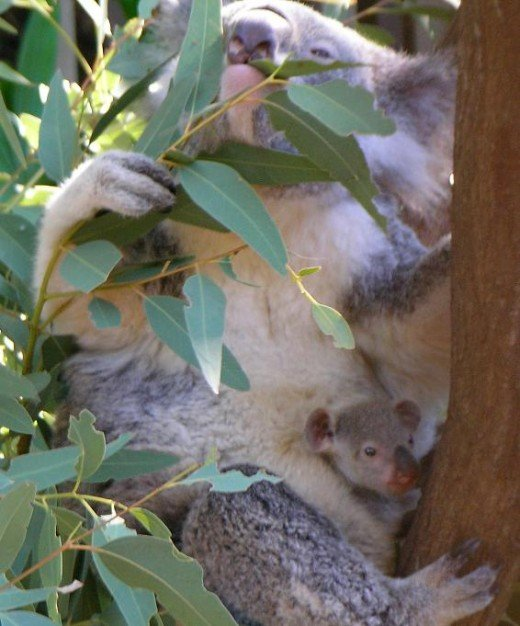 Koala mum with Koala Joey poking it's head out of mum pouch.  ack/http://en.wikipedia.org/wiki/File:Koala_with_young.JPG