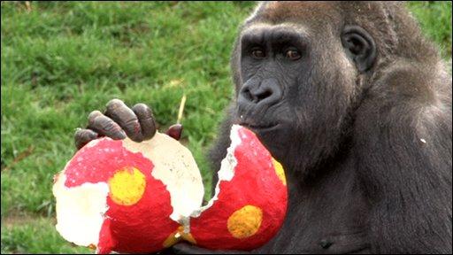 gorilla at Jersey's Durrell Wildlife park