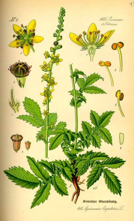 Components of agrimony. CXourtesy of wikipedia.