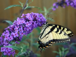 The Butterfly Bush - How to Grow and Propagate Buddleia