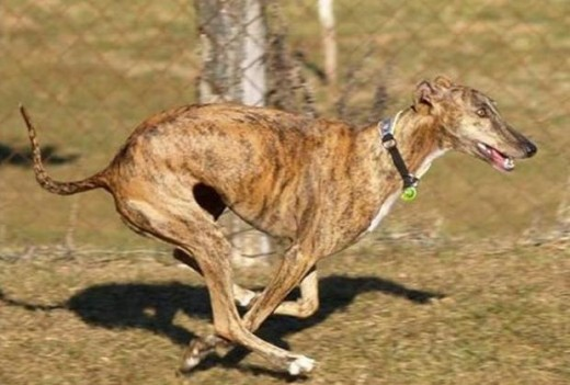 Spanish Greyhound 2