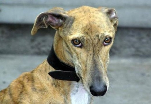 Spanish Greyhound 4