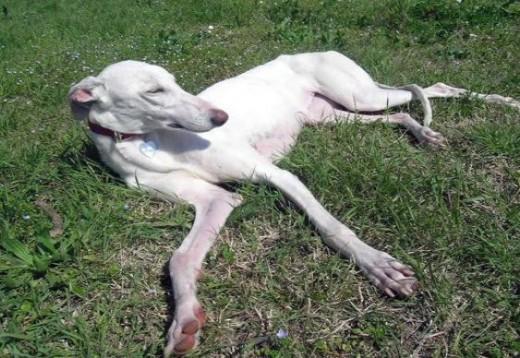 Spanish Greyhound 8