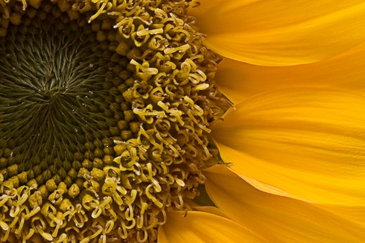 Same Sunflower with a really close crop... you can see just how much detail the Tamron 28-75mm lens captures.