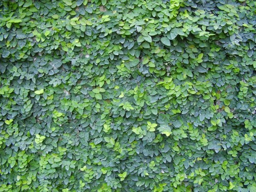 The Creeping Fig