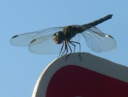 Closeup of dragonfly on a sign