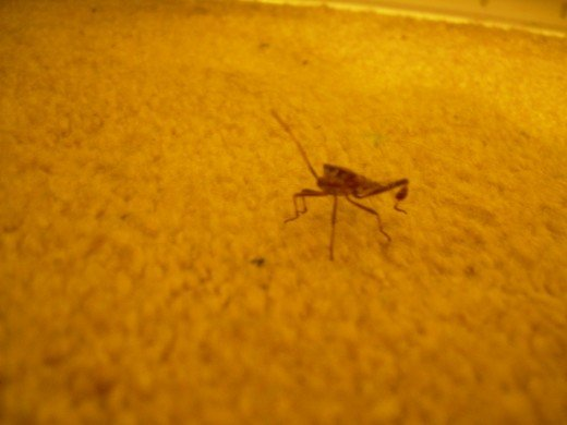 Cricket walking on our bedroom rug