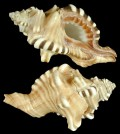 The conch shells resembling the face of Lord Ganesha