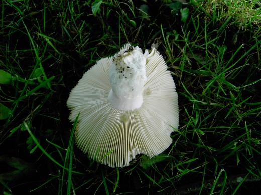 The same fungi photographed from below.