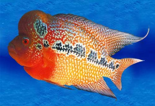 Dubbed as a Feng Shui fish this flowerhorn variety is indeed a sight to behold. Photo from img.en.china.cn/