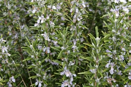 Rosemary Herb and Oil Benefits