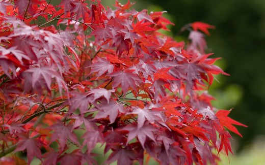 Some maples turn crimson and maroon in the fall. This is the result of the loss of chlorophyll and the sugar in the leaves.