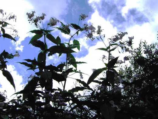 Himalayan  balsam can attain an impressive height. Photograph by D.A.L.