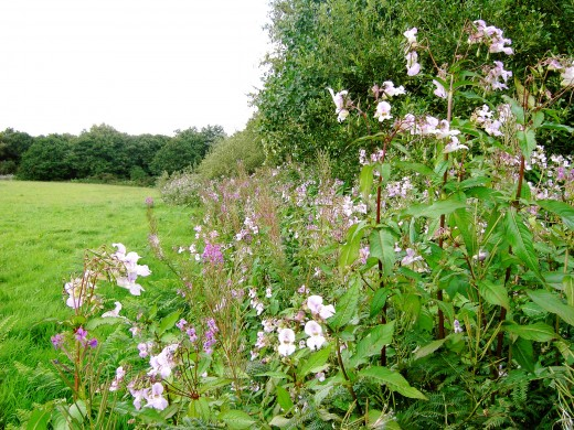 The plant has got established along this arable hedgerow. Photograph by D.A.L.