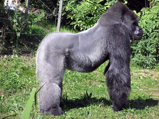 Ape teat for gorilla nipple breast on primate mammary.
