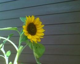 Sunflower growing in a neighbor's garden