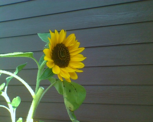 Sunflower growing in a neighbor's garden