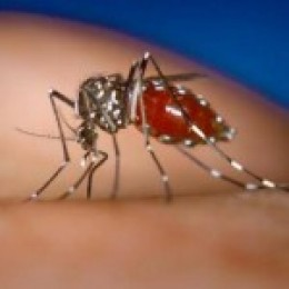 Dengue-virus carrying mosquito