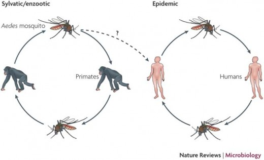 How dengue viruses are transmitted