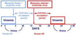 Transmission of dengue