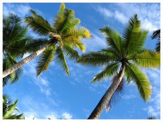Coconut Tree a Great Gift of