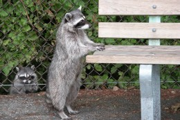 Here is one of the local residents, but please refrain from feeding the cute critters. We are trying to keep them in their natural state instead of turning them into beggars.