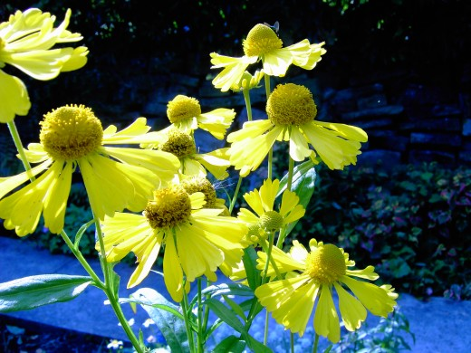 Helenium blooms attract a wide range of insects.Photograph by D.A.L.