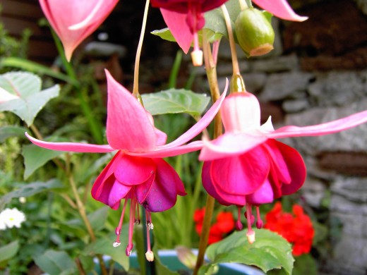 Photograph by D.A.L. Fuschia flower well into Autumn.