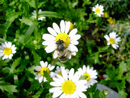 Hoverflies help to pollinate flowers. Photograph by D.A.L.