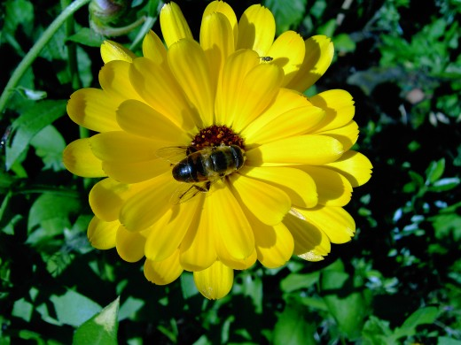 This large species of hoverfly feeding on the English Marigold. photograph by D.A.L.