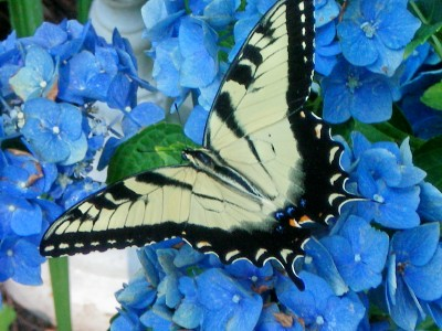 Eastern Swallow Tigertail butterfly resting on my hydrangea.