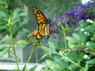 This Monarch couldn't get enough of my butterfly bush.