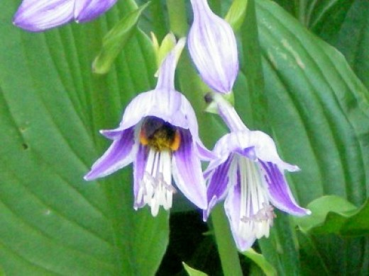 A bumblebee is hiding inside this hosta flower.