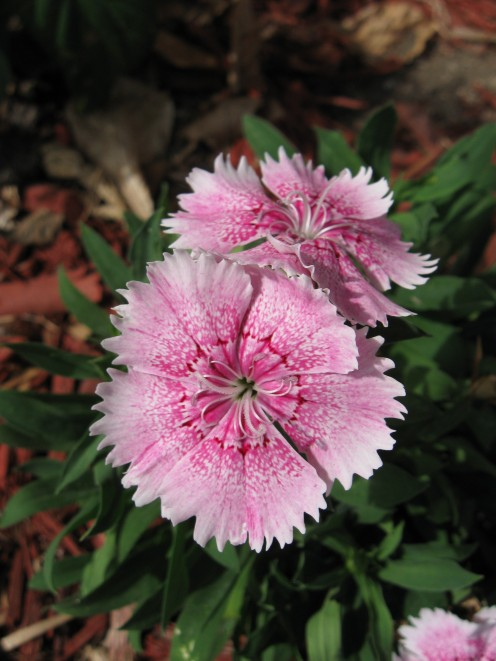 Another dianthus variety