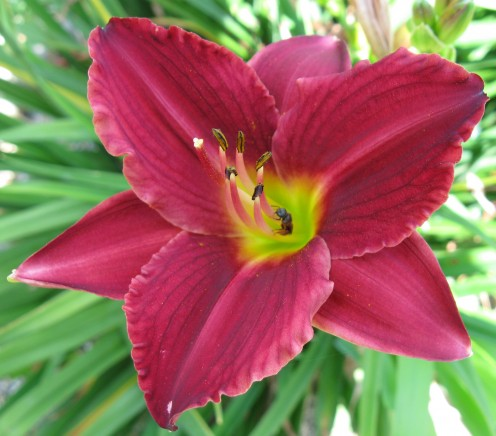 A Daylily (with ant)