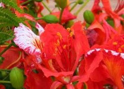 The Gulmohar flowers
