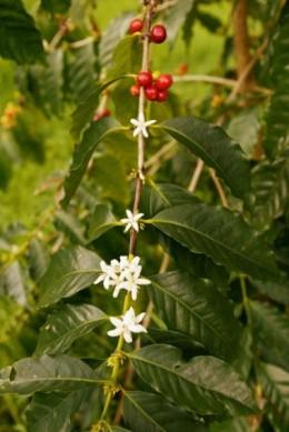 A Kona coffee bean plant in Hawaii