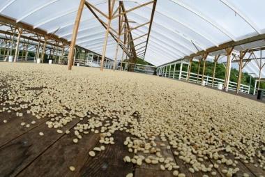 Drying platform Kona coffee.