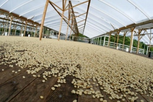 Drying platform Kona coffee.