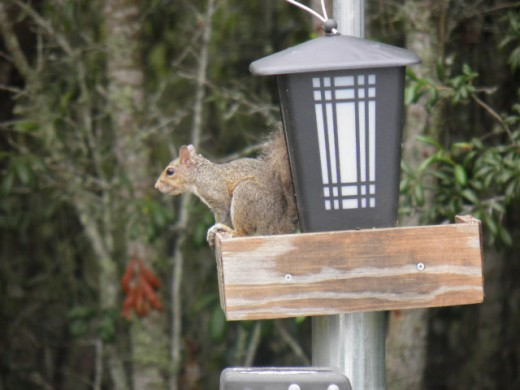 Squirrels stealing the pumpkin seeds from the birds