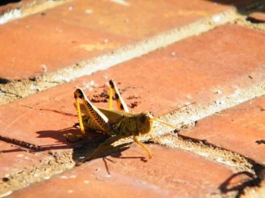 Grasshopper-prehistoric-insect-hybrid