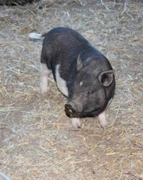 Teacup Pot Belly pigs for sale
