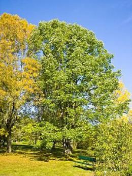 White ash tree in America